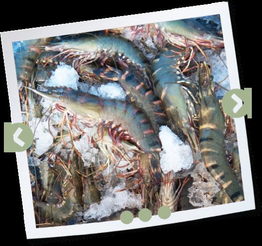 An Organic Shrimp's Tale